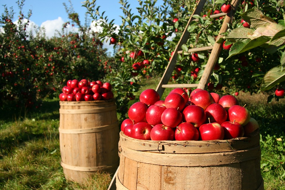 [Apple picking]