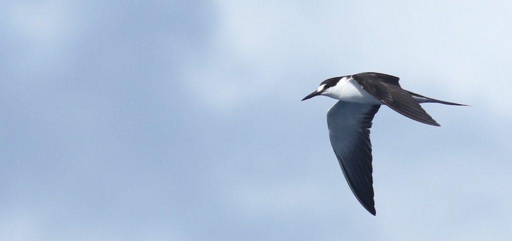 [Sooty Tern]